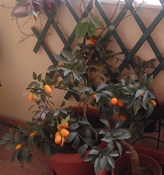 A Chinese mandarin tree