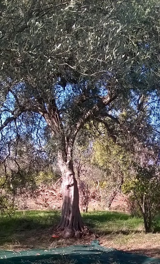 Olive trees in Calabria