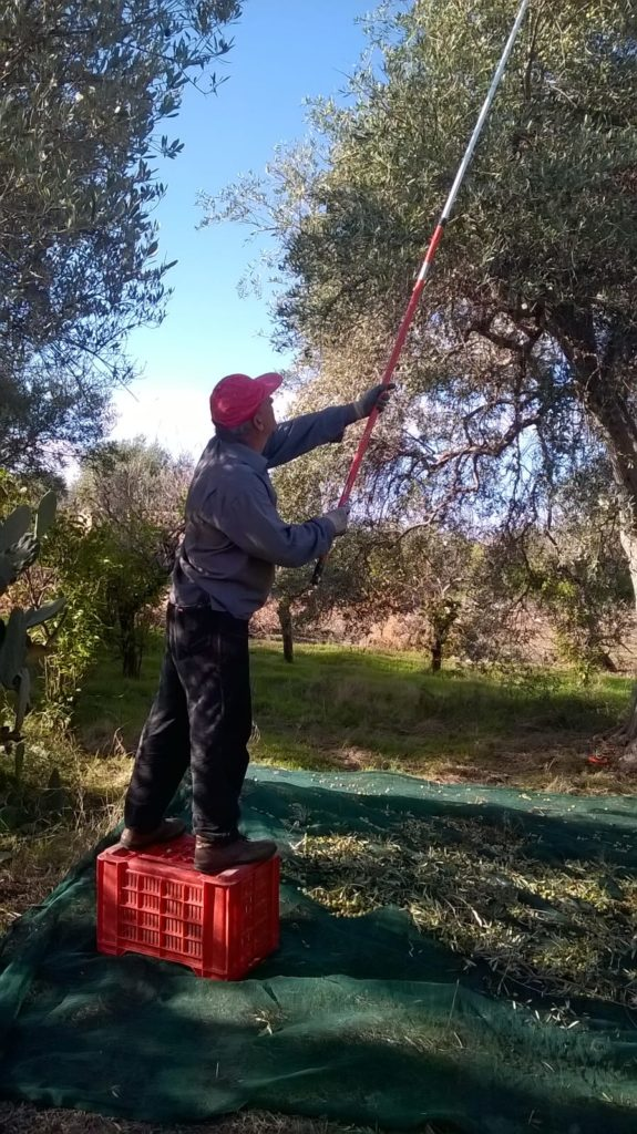 Collecting olives with hand-held shaker