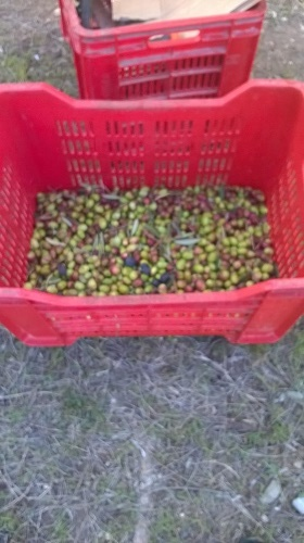 olives put in crates
