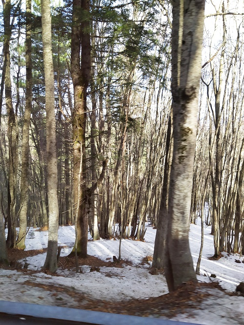 The Corsican pine trees in the winter