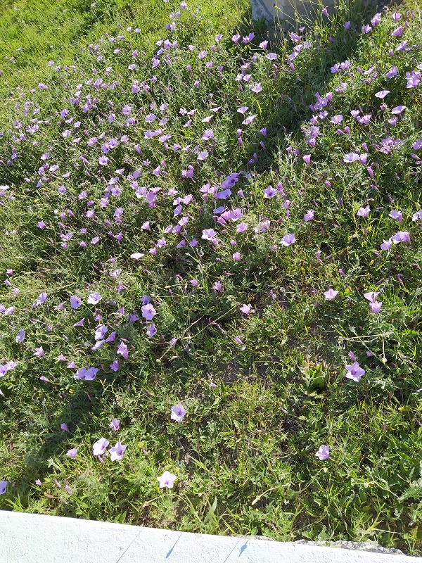 Wild flowers in Calabria