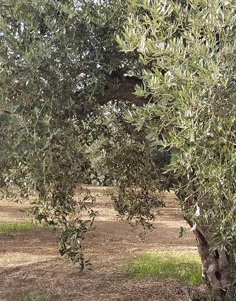 Olive trees in Castelvetrano
