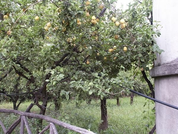 The lemon groves of Sorrento
